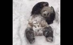 Le panda Tian Tian profite de la neige au Smithsonian Zoo de Washington.