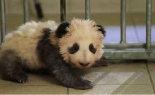 Mini Yuan Zi a fait ses premiers pas au zoo de Beauval.