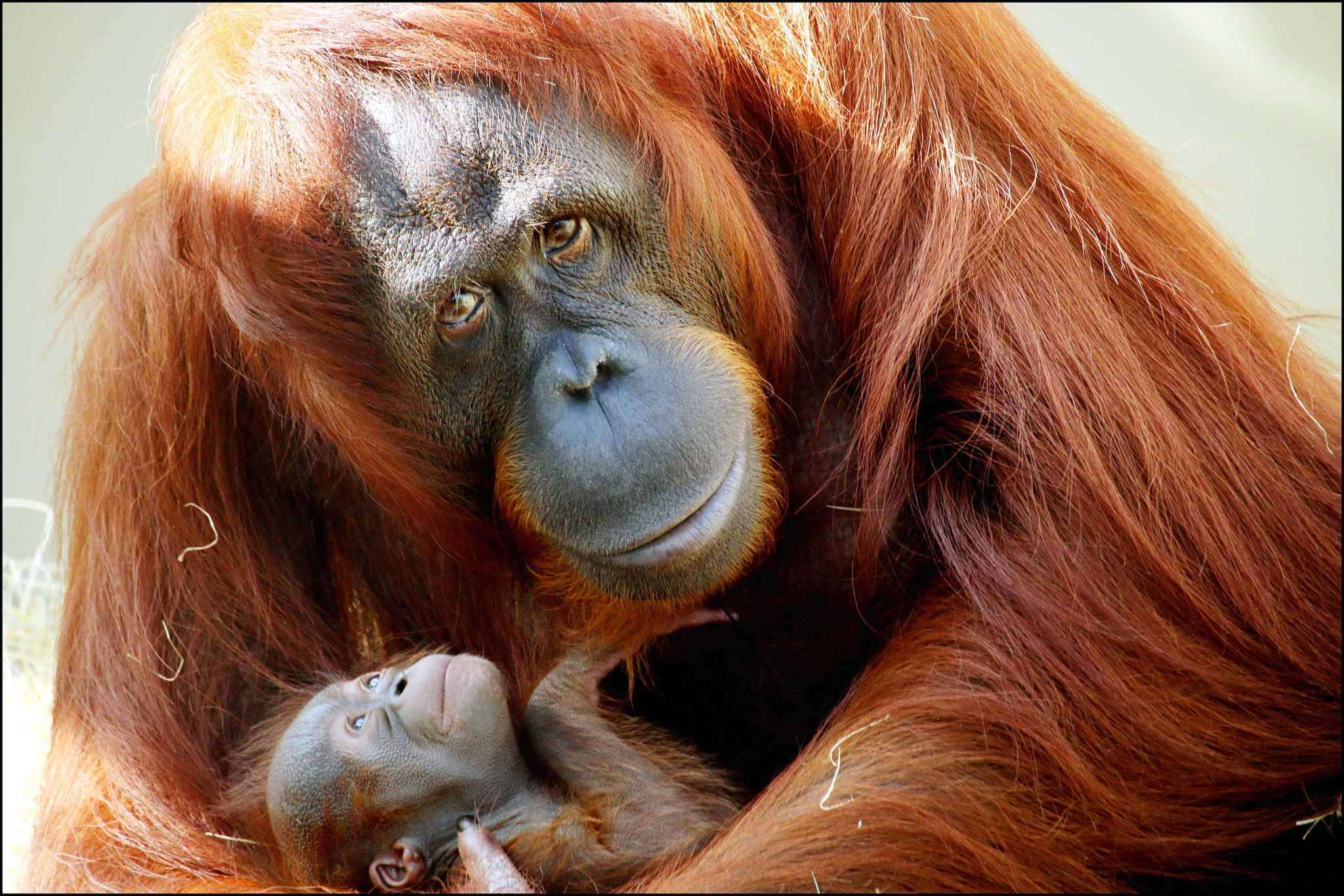 PIC FROM Caters News - (PICTURED: Mother Luna with her new born Bornean orangutan (a critically endangered species) at Busch Gardens in Florida  weighing in just around three pounds. PIC TAKEN ON 04/11/17) - Busch Gardens in Florida is excited to announce the newest addition to the park a baby orangutan, weighing in just around three pounds. Born to mother, Luna, and father, Madju, the baby is currently healthy and being cared for by its mother with the animal care team monitoring closely. Bornean orangutans are critically endangered and typically live in the trees in the tropical island rain forests from lowland swamps to high in the mountains of Borneo. Bornean orangutan populations have declined by more than 50% over the past 60 years, and the species habitat has been reduced by at least 55% over the past 20 years. The species is threatened by rapid deforestation and devastation of their habitat, mainly due to palm and other agricultural plantations. Young orangutans, in particular, are also by the illegal pet trade and mothers often killed as poachers snatch their young. Guests can see the baby starting next week in the Jungala area of the park and help name the male via a Facebook poll launching Thursday 16th November. COPY ENDS - Caters News