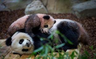 Prise en janvier 2018, cette photo montre le petit panda Yuan Meng jouant avec sa mère Huan Huan au zoo de Beauval.