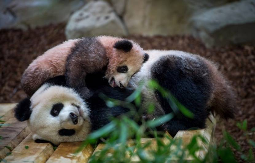 Zoo de Beauval : Le directeur du parc veut prolonger la garde de deux pandas prêtés par la Chine