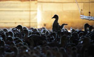 Illustration d'un élevage de canards.