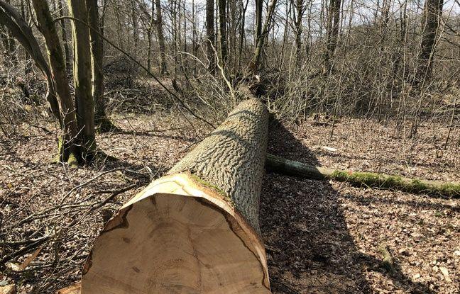 L'un des chênes abattus en forêt de Mormal pour reconstruire Notre-Dame deParis
