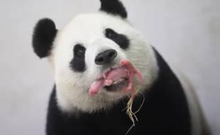 Le premier bébé panda belge est né le 1er juin 2016.