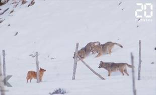 Un chien attaqué par trois loups - Le Rewind