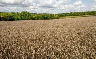 Des algues et des micro-guêpes pour protéger blé et maïs des maladies : le biocontrôle, alternatif aux pesticides, commence à apparaître timidement pour les céréales