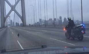 Le petit Chihuhua a entraîné les policiers de la California Highway Patrol dans une course-poursuite inhabituelle.