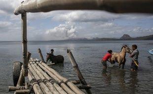 Ces petits chevaux sont des rescapés  de l'éruption du volcan Taal.