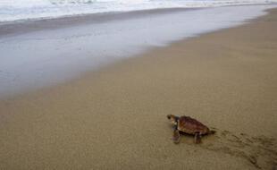 Un bébé tortue caouanne tente de rejoindre la mer sur une plage de Fuerteventura, Canaries, le 28 octobre 2007.