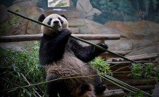 Yuan Meng, né en août 2017, se prépare à l'arrivée de de petits frères ou sœurs dans quelques heures au zoo de Beauval.