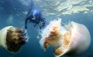 Un plongeur nage parmi des méduses géantes dans la Mer du Japon, Echizen, le 31 octobre 2009.