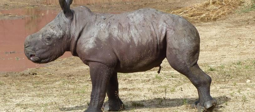 Lewa est la premier bébé rhinocéros blanc né en 2021 en France.