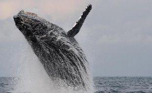 A quelques encablures des éléphants vivant dans la forêt équatoriale qui vient mourir sur la plage, quatre baleines à bosse s'ébattent dans un langoureux ballet amoureux, devant l'estuaire menant au port de Libreville, la capitale gabonaise.
