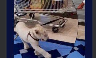 Un bébé fauve déambule dans une galerie marchande, à Guérande