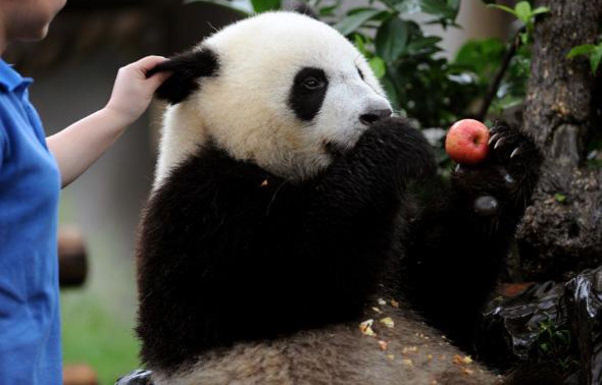 Un panda géant de la réseve de Chengdu, en Chine, le 5 juin 2010. – AFP