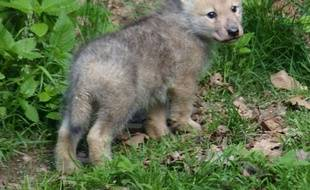 Le parc de Courzieu a enregistré la naissance d'un petit loup arctique.