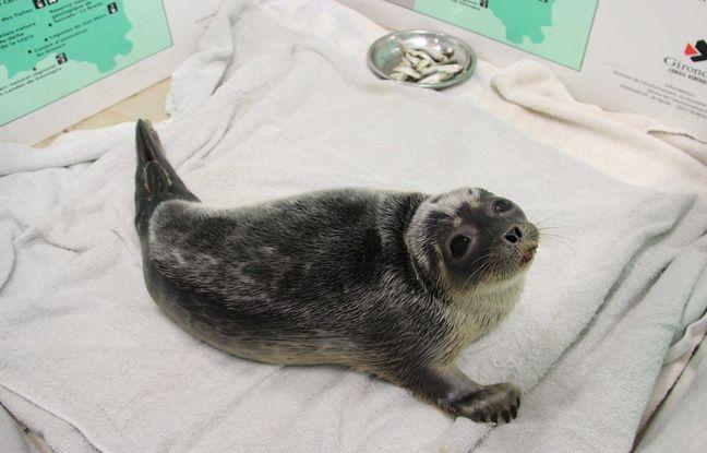 Ce bébé phoque annelé, la plus petite espèce de phoque au monde, vit d'habitude dans le cercle arctique.