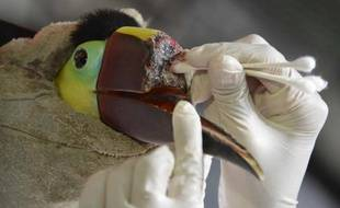 Un toucan au bec arraché après avoir été maltraité par un groupe de jeunes est soigné le 4 février 2015 dans un centre de secours spécialisé au nord de San José, au Costa Rica