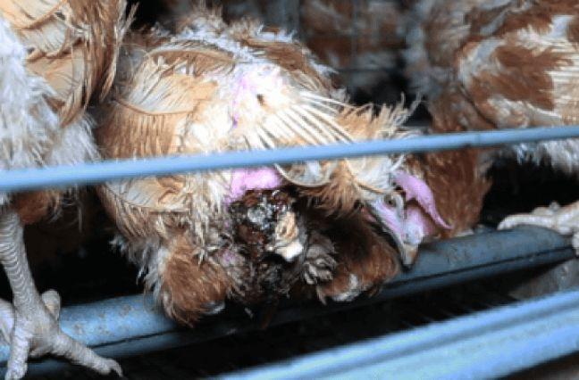 De nombreuses poules sont blessées.