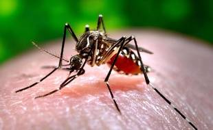Un Aedes albopictus, vecteur, notamment, du chikungunya.
