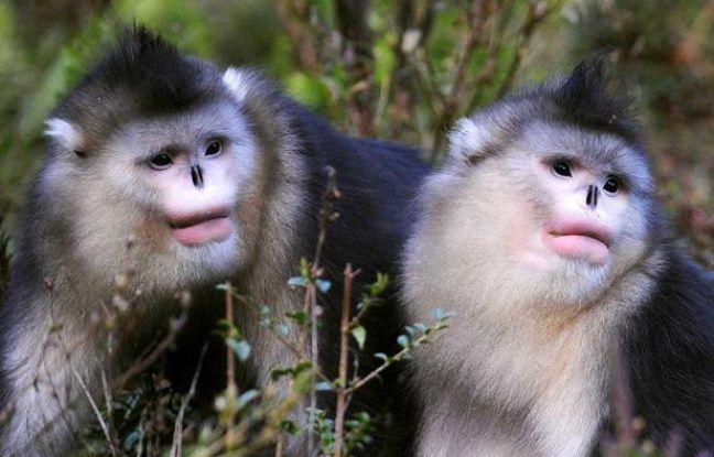 Des singes rhinopithèques, dans une réserve en Chine en 2009.