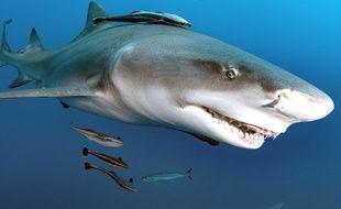 Un requin, au large de la Floride (illustration).