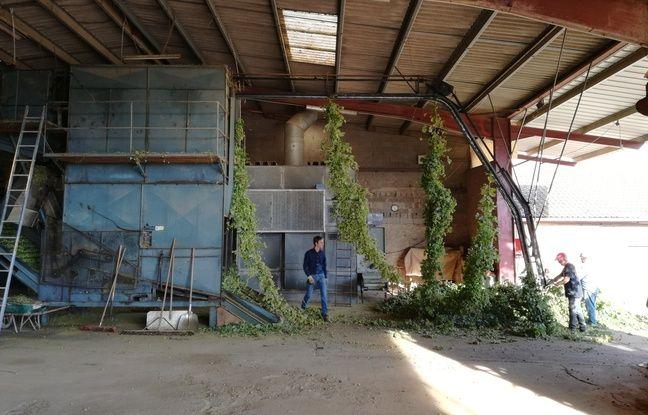 A l'entrée des machines de préparation du houblon, pour séparer les lianes et les feuilles des têtes, avant de sécher puis humidifier ces têtes pour bien les conserver.