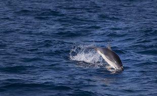 Un Grand dauphin en Méditerranée