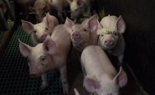 Illustration d'un élevage de porcs en Bretagne, région qui abrite environ 60% du cheptel porcin français.
