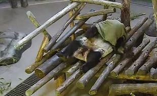 Capture d'écran d'une vidéo de Da Mao, le panda du zoo de Toronto, au Canada, jouant avec une couverture, le 1er juin 2015.
