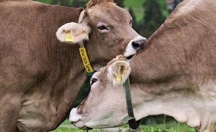Illustration de vaches.