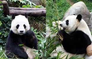 Le Le et Ying Ying, au zoo Ocean Park de Hong-Kong, en 2016 (illustration).