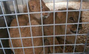 Deux lionceaux ont été abandonnés devant le Parc des Félins, en Seine-et-Marne, le 24 mars 2015.