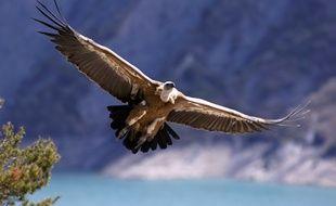 Le vautour fauve fait partie des rapaces les plus touchés par l'empoisonnement ces dernières années.