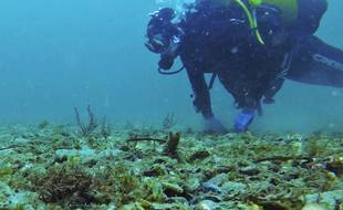 En Bretagne, des scientifiques de l'Ifremer ont observé l'évolution des colonies d'huîtres plates sauvages, menacées de disparition.