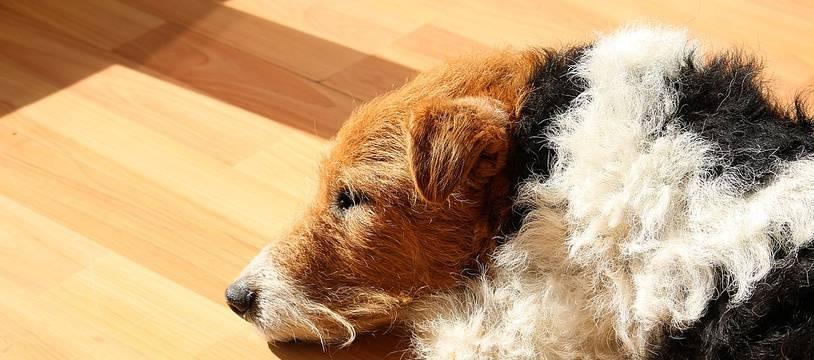 Photo d'illustration d'un fox-terrier.