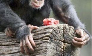 En général, les chimpanzés mâles ne se préoccupent pas de leur progéniture.