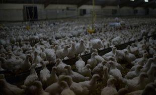 Illustration d'un élevage de poules. /JDD_114701000218/Credit:JEROME MARS/JDD/SIPA/1510251221