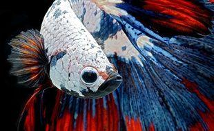 Le poisson combattant est de la famille des osphronemidae. Image d'illustration.