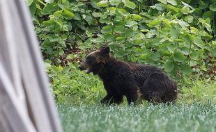 Les ours s'approchent souvent des habitations pour trouver de la nourriture. (Illustration)