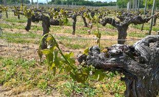 Certains viticulteurs ont la quasi totalité de leur vignoble impacté.