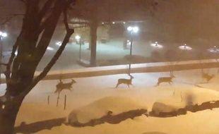 Pendant que Snowzilla sévissait sur la Côte Est des Etats-Unis, quelques daims en ont profité pour aller faire un tour dans les rues enneigées de Washington.