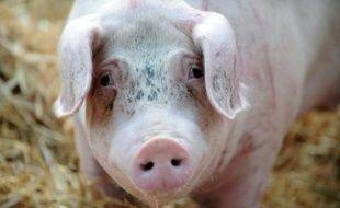Un cochon photographié pendant une manifestation d'éleveurs à Saint-Brieuc en Bretagne le 2 juillet 2015
