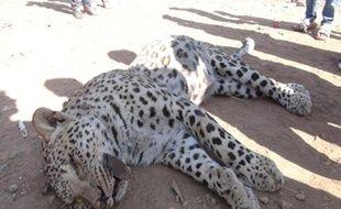 Un léopard a été tué par un berger dimanche à Diyarbakir, province du sud-est de la Turquie, où les autorités examinaient lundi s'il s'agit de l'espèce anatolienne, considérée comme disparue.