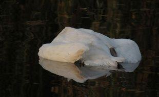 Une trentaine de cygnes ont été retrouvés morts dans le canal de décharge de l'Ill, à Erstein (Illustration)