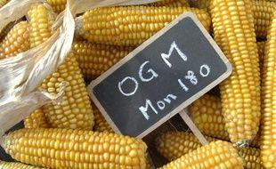 Maïs OGM de Monsanto.