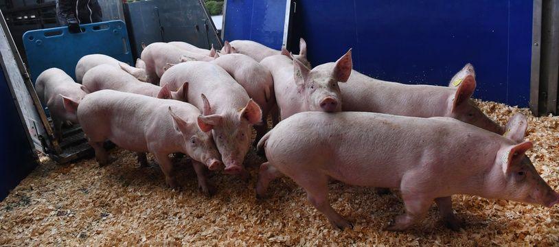 Le 10 mars, mille cochons ont quitté le Finistère en avion pour la Chine, pays durement touché par la peste porcine africaine. Au total, 2.000 animaux voyageront dans les airs.