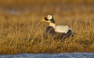 L'eider commun fait partie des espèces prises au piège des plate-formes off-shore lors de leur migration