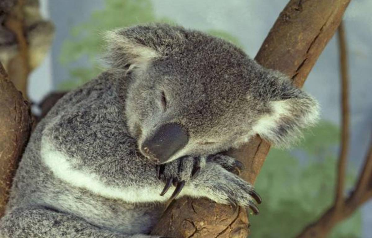 Un koala dort dans un arbre, en Australie. – SUPERSTOCK/SIPA