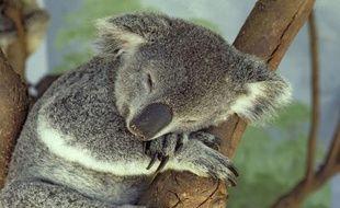 Un koala dort dans un arbre, en Australie.